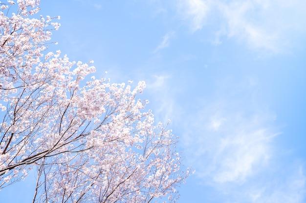 Piękne kwitnące wiśnie yoshino sakura kwitną wiosną.