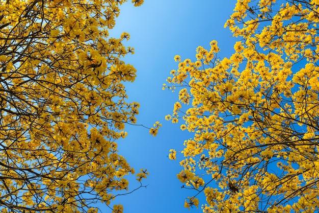 Piękne kwitnące żółte kwiaty złote tabebuia chrysotricha z parkiem w dzień wiosny na tle błękitnego nieba w tajlandii.