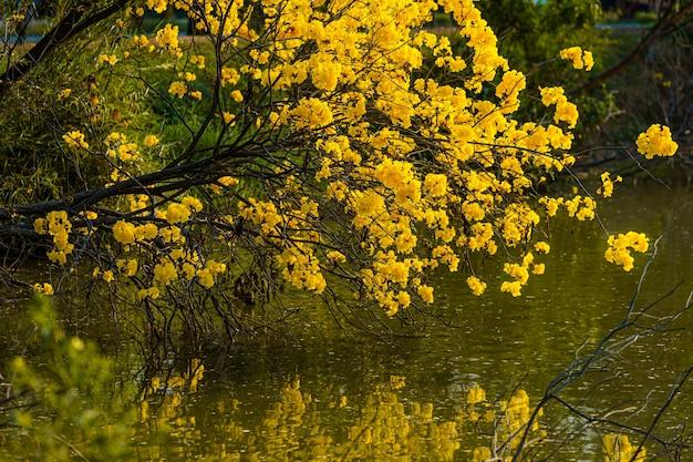 Piękne kwitnące żółte kwiaty złote tabebuia chrysotricha z parkiem w dzień wiosny w tle wieczorem w tajlandii.