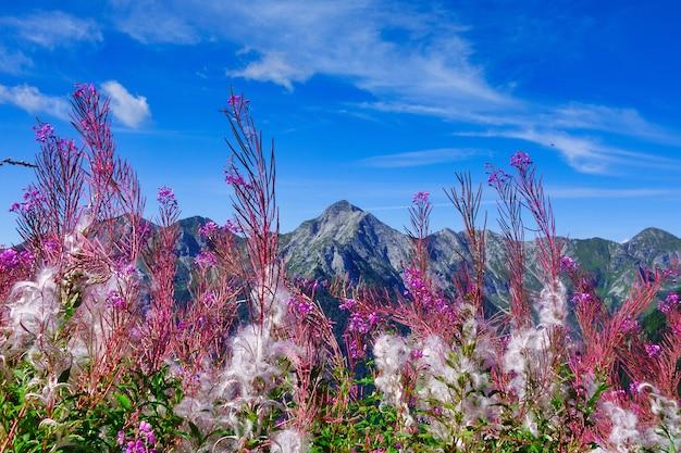 Piękne kwitnienie epilobium angustifolium w górach alp bergamo we włoszech