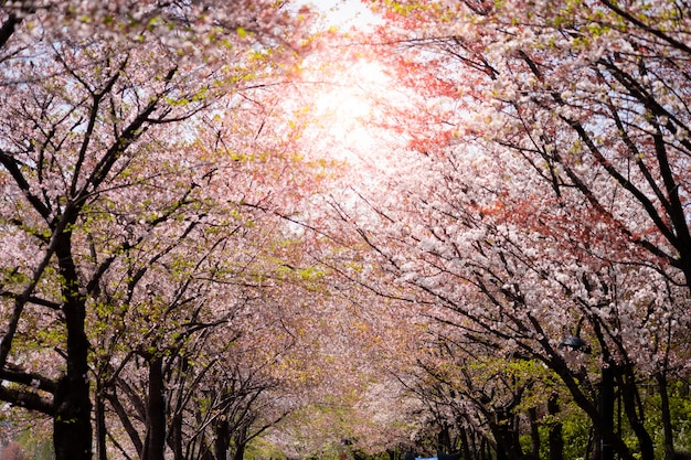 Piękne kwitnienie różowe drzewo sakura z błękitne niebo na tle i tło.