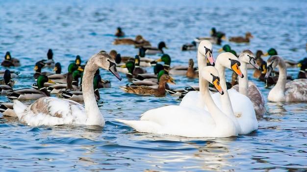 Piękne łabędzie i kaczki gromadzą się w wodzie w słoneczny letni dzień