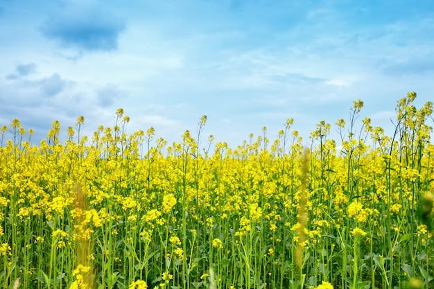 Piękne lato pole żółte kwiaty i stokrotki.