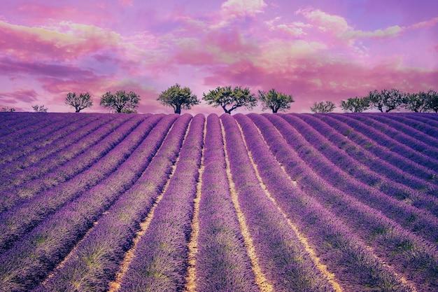 Piękne lawendowe pole z pochmurnym niebem