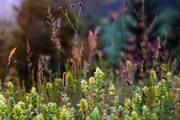 Piękne letnie kwiaty zachód słońca na górskiej polanie w pobliżu lasu