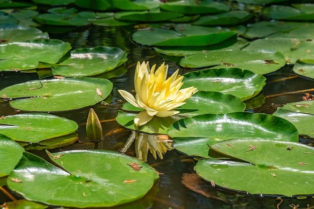 Piękne lilie wodne kwitną w jeziorze w parku tsvermaghala w gruzji. flora.