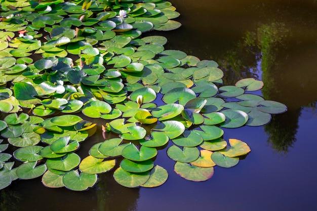 Piękne lilie wodne w stawie. z odbiciem drzew w parku. jasny, słoneczny dzień