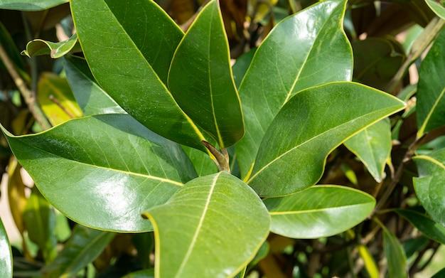 Piękne liście magnolii w tropikalnym parku. zimozielona południowa magnolia z zielonymi liśćmi