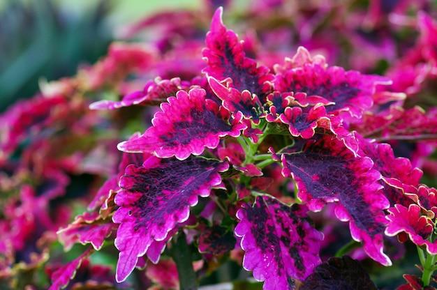 Piękne liście rośliny rex begonia, kolorowej rośliny doniczkowej