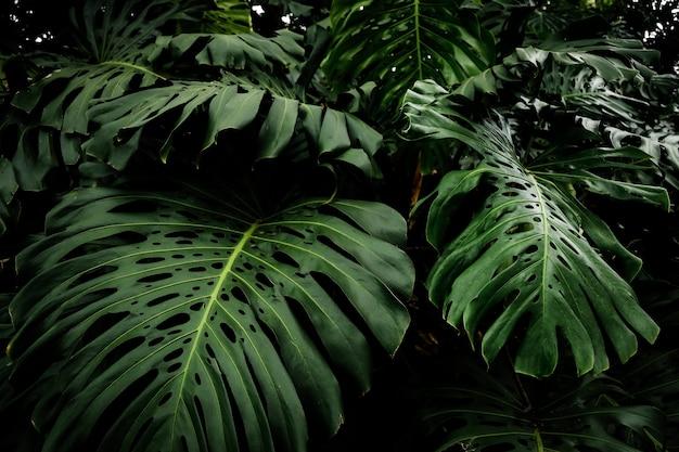 Piękne liście tropikalnego filodendronu