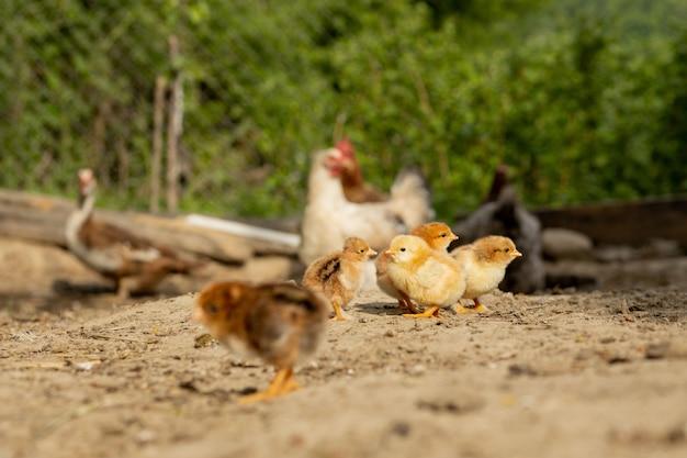 Piękne małe kurczaki na tle kur