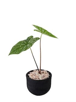 Piękne małe rośliny doniczkowe caladium bicolor vent, araceae, angel wings w betonowej doniczce czarnej na białym tle