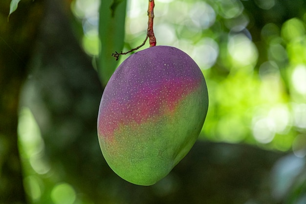 Piękne mango na drzewie