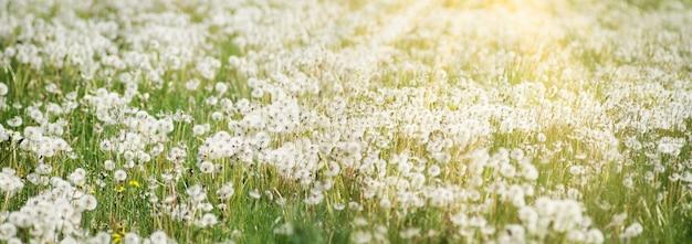 Piękne marzycielskie tło natury wiosna z mniszka lekarskiego