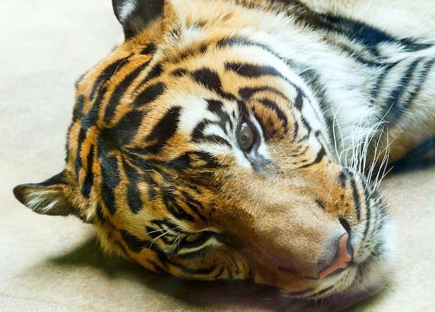 Piękne mocne paski tygrysa odpoczynku zbliżenie.
