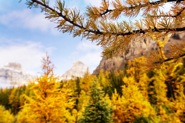 Piękne modrzewie złote w górach, sezon jesienny.