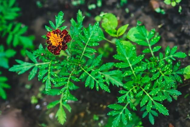 Piękne nagietki rosną wśród zieleni
