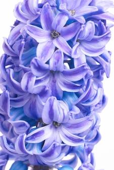 Piękne niebieskie hiacynty kwiaty