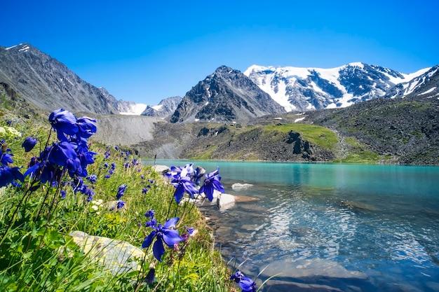 Piękne niebieskie kwiaty na tle górskiego jeziora i ośnieżonych szczytów w wysokich górach ałtaju. dzika przyroda syberii w rosji. piękny krajobraz na tle.