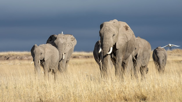 Piękne obrazy afrykańskich słoni w afryce