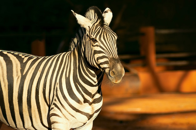 Piękne obrazy zebry afrykańskiej w parku narodowym. namibia, afryka