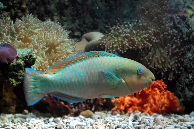 Piękne papugi ryb na dnie morskim i rafach koralowych