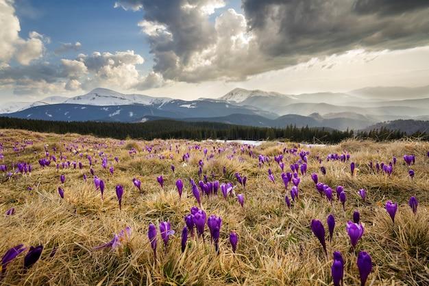 Piękne pierwsze wiosenne kwiaty w karpatach