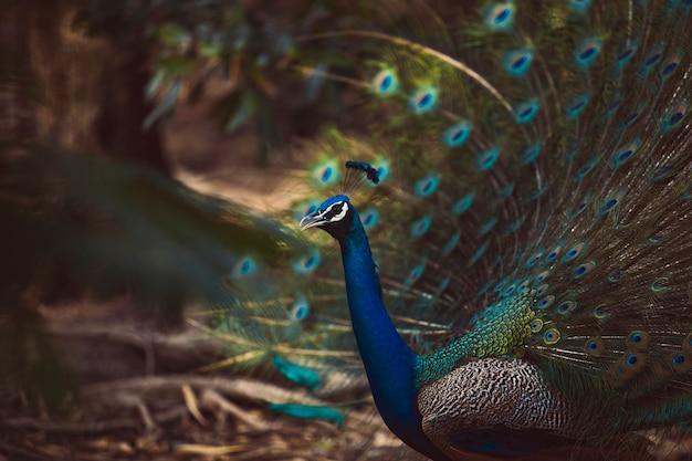 Piękne pióro indyjskiego pawia w naturalnym środowisku