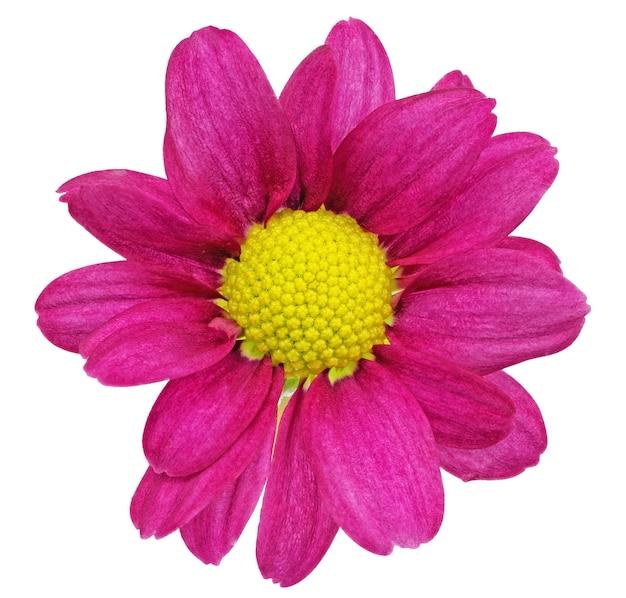 Piękne pojedyncze fioletowe czerwone kwiaty dalii.