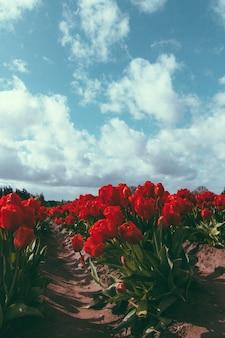 Piękne pola rolnicze czerwone tulipany rosnące pod zapierającym dech w piersiach pochmurne niebo