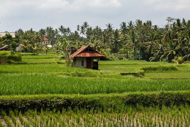 Piękne pola ryżowe na bali, indonezja.