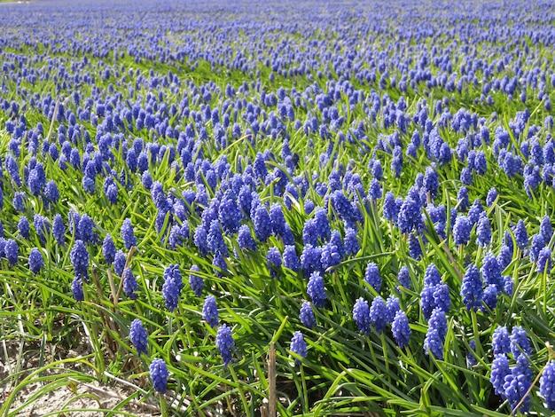 Piękne pole kwiatów szafirek w słoneczny dzień