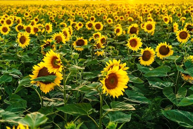 Piękne pole kwitnących żółtych kwiatów słonecznika na tle letniego zachodu słońca w...