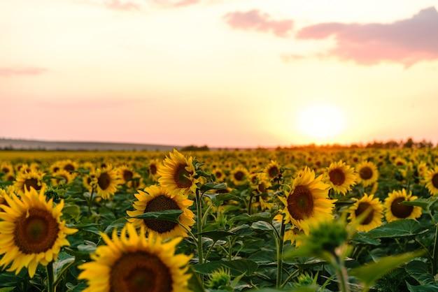 Piękne pole kwitnących żółtych kwiatów słonecznika na tle