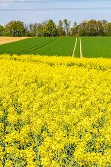 Piękne pole łykowe z zielonymi kwiatami i błękitnym niebem