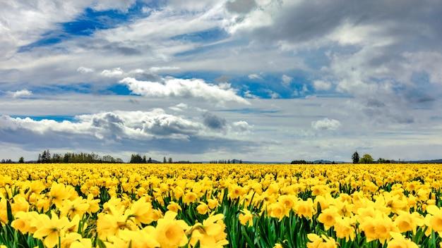 Piękne pole pokryte żółtymi kwiatami ze wspaniałymi chmurami na niebie w