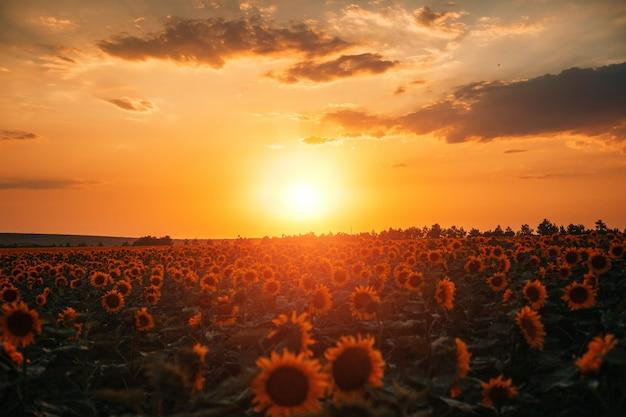 Piękne pole słoneczników i niebo zachód słońca z chmurami