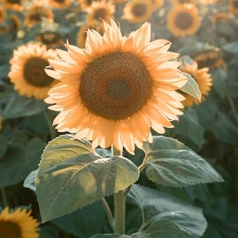 Piękne pole słoneczników