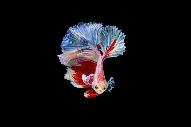Piękne półksiężycowe biało-czerwone betta splendens, bojownik syjamski lub pla-kad w popularnej tajskiej rybie w akwarium.