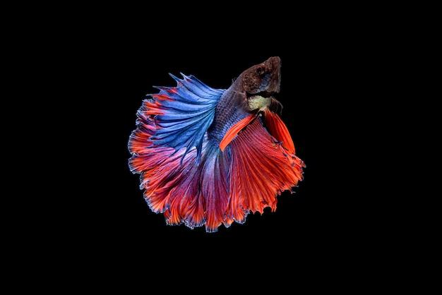 Piękne półksiężycowe niebiesko-czerwone betta splendens, bojownik syjamski lub pla-kat w popularnych tajskich rybach w akwarium.