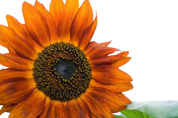 Piękne pomarańczowe dekoracyjne płatki słonecznika zbliżenie