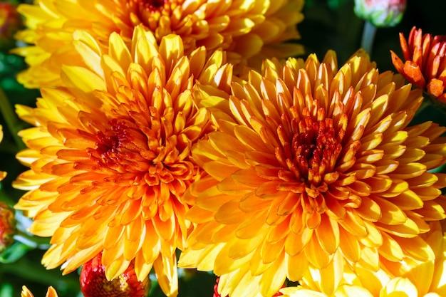 Piękne pomarańczowe jesienne kwiaty chryzantemy