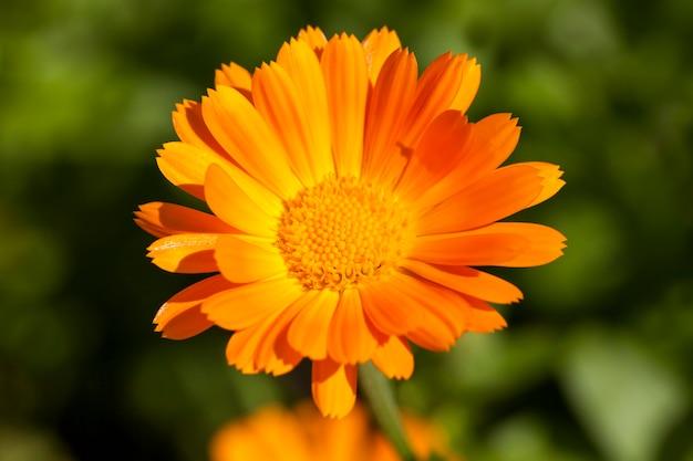 Piękne pomarańczowe kwiaty nagietka w sezonie wiosennym