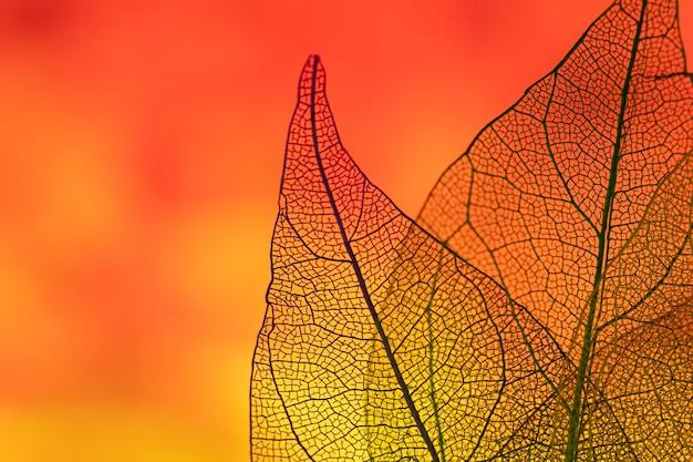Piękne pomarańczowe przezroczyste liście jesienią