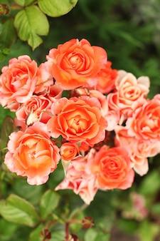 Piękne pomarańczowe róże w ogrodzie