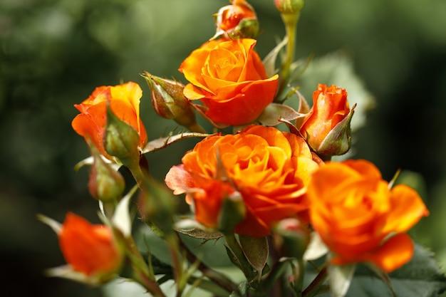 Piękne pomarańczowe róże wiosną w ogrodzie