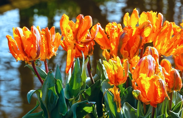 Piękne pomarańczowe tulipany zbliżenie w pobliżu stawu w parku wiosny.