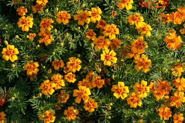 Piękne pomarańczowo-czerwone nagietki na klombie w letni dzień. małe pomarańczowe kwiaty tło.