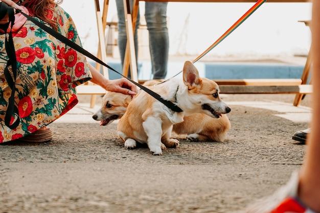 Piękne psy rasy corgi. szczęśliwy zwierzak, portret złotego corgi. szkolenie zwierząt domowych, wystawa psów, koncepcja karmy dla psów