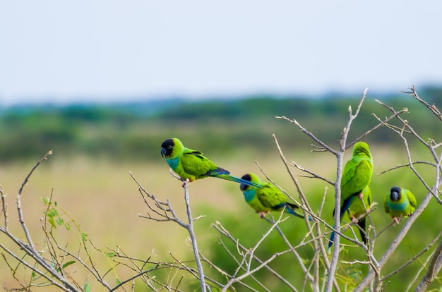 Piękne ptaki nanday parakeet na drzewie w brazylijskim pantanalu